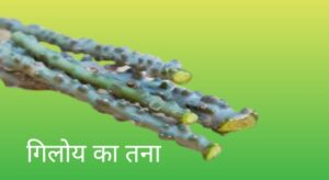 Benefits of Giloy in Hindi